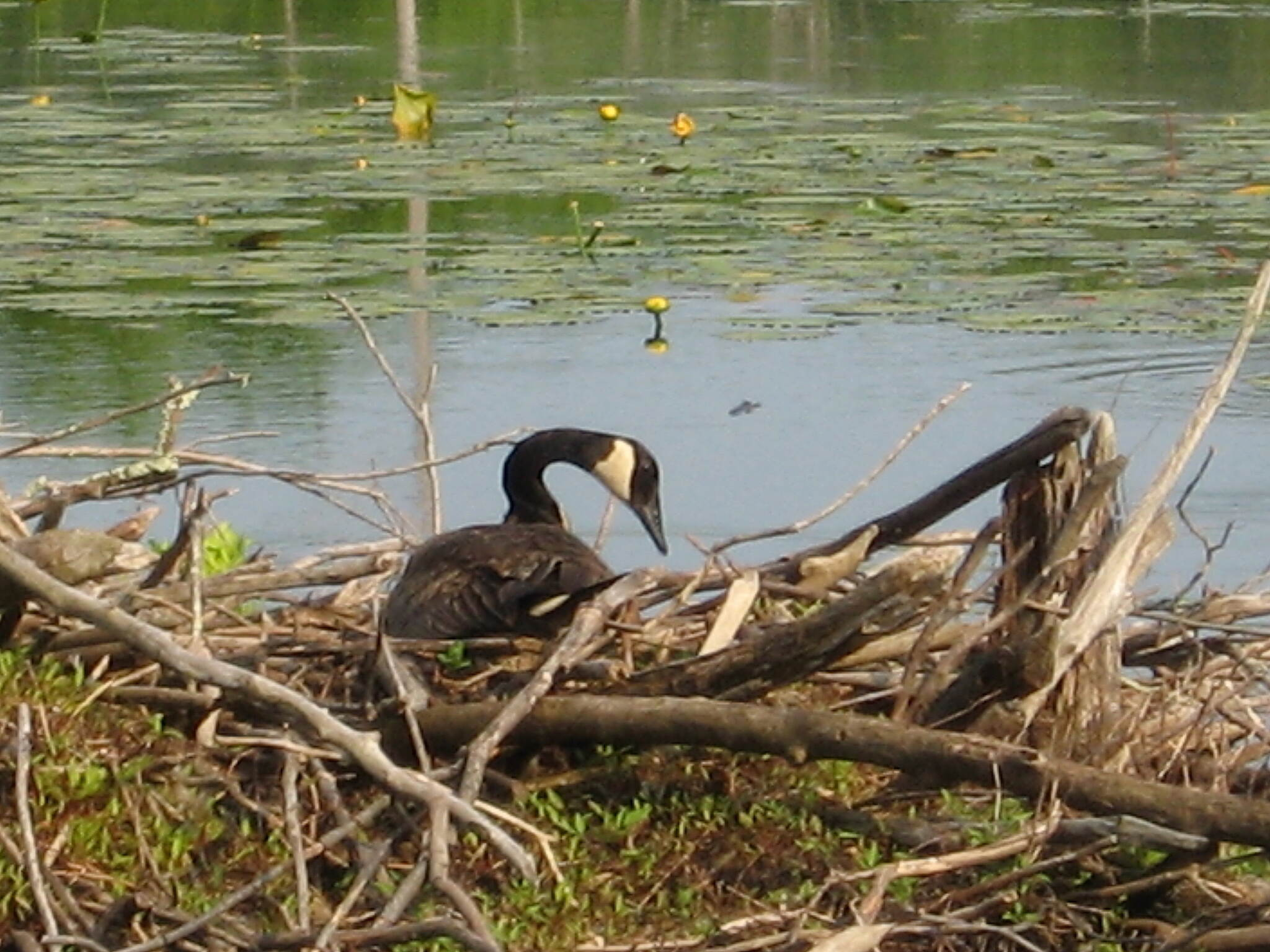 Air Line State Park Trail Goose on nest