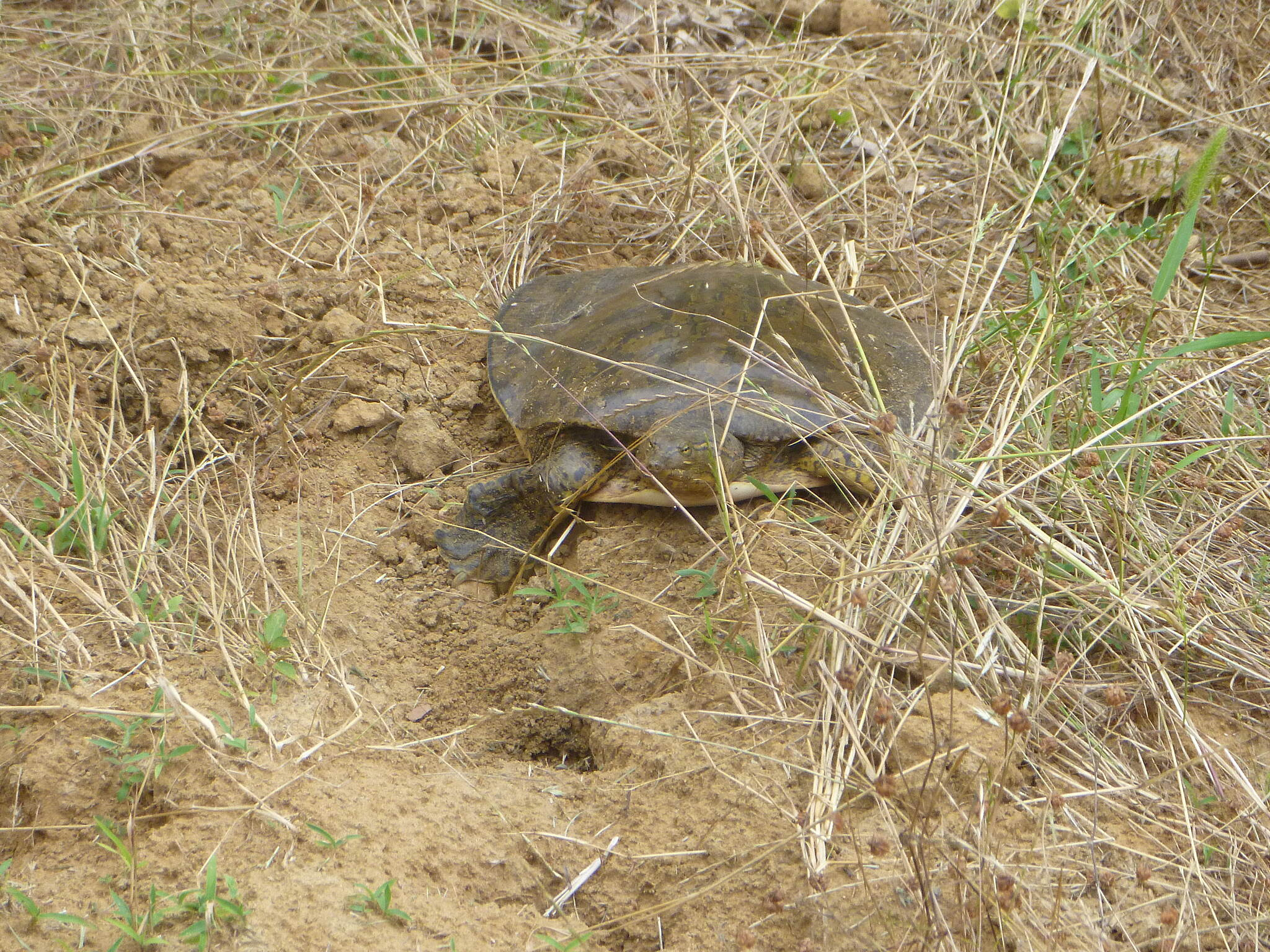 Aldridge Creek Greenway Soft Shell Turtle