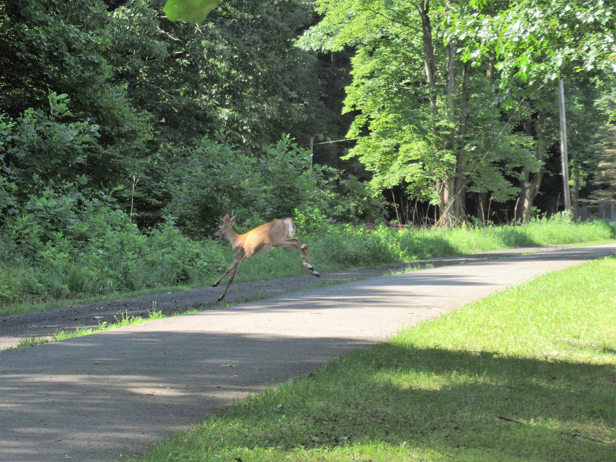 Allegheny River Trail Deer ran across the trail  A small buck with antlers in velvet swam across the Allegheny River and up onto the trail and crossed in front of us. Near Brandon.