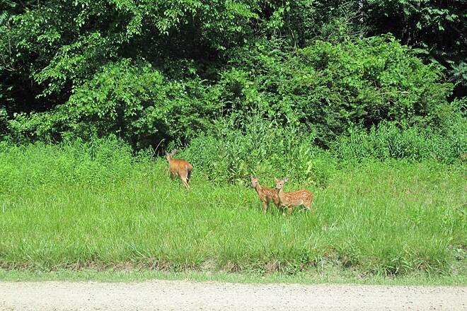 Allegheny River Trail Mama doe with twin fawns  About a half mile from Franklin we spotted this Mama doe and her twin fawns along side of the trail. July 2020.