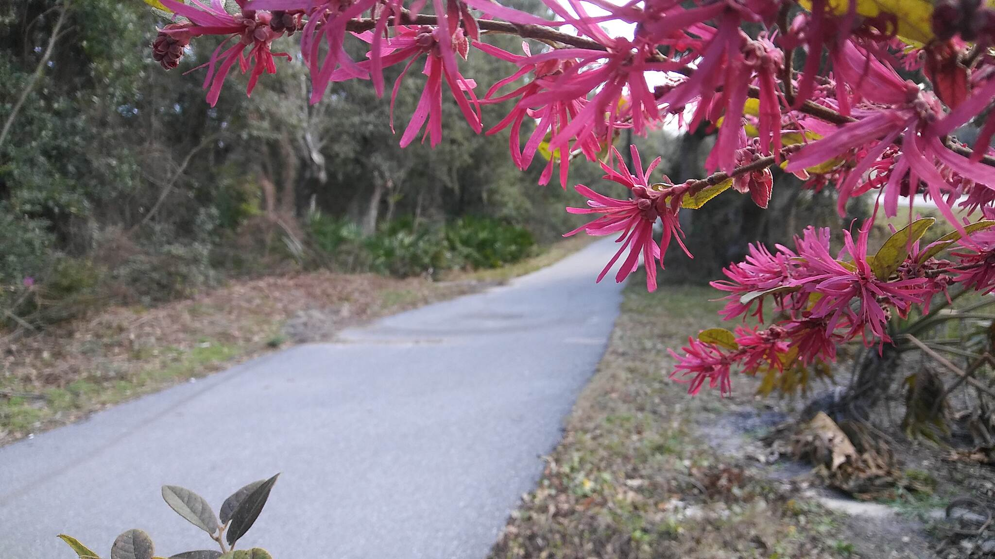 Amelia Island Trail Flowers in Spring Near the Sea Found these about 1 mile north of Amelia Trail State Park.