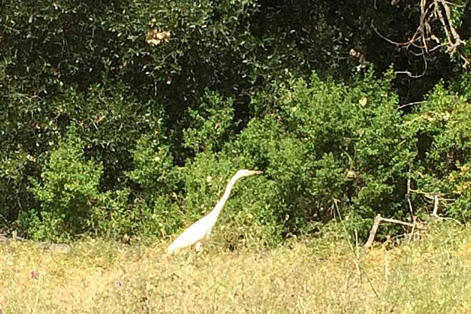 American River Bike Trail (Jedediah Smith Memorial Trail) r Egret, right next to the path