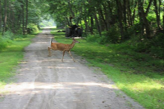 Armstrong Trail Deer-July 2015 Kicked out a deer, July 2015.  He had one horn in velvet.