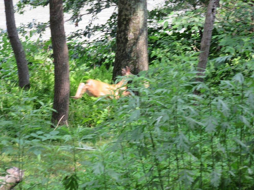 Armstrong Trail July 2015 - Deer Saw a deer in the brush.  July 2015.  He had one velvet horn.