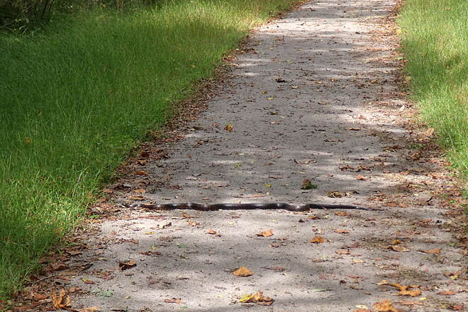 Armstrong Trail Black Snake at MP 50.5 Be aware of trailtop creatures sunning themselves.