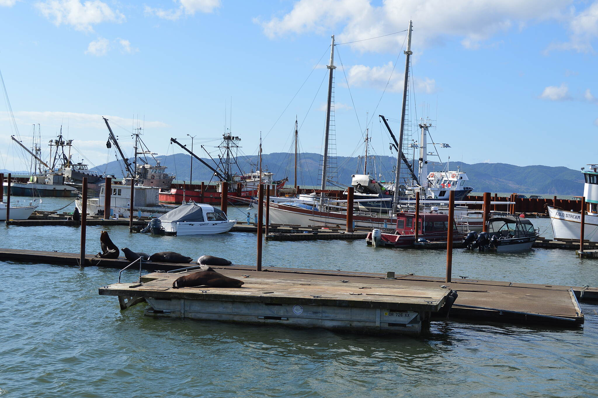 Astoria Riverwalk Sea lions basking on the docks