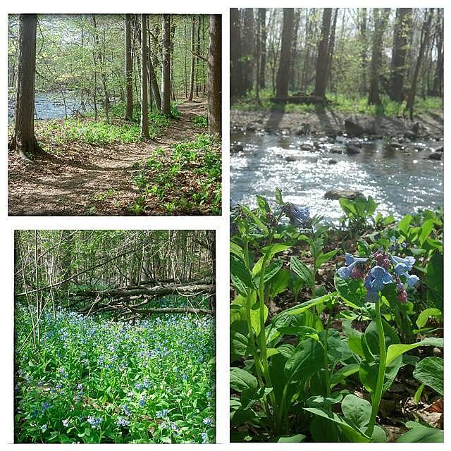 Auburn Trail Mertensia at Mertensia Park May 7, 2015 - The Auburn Trail at Mertensia Park in Farmington, NY.  There is a wood path that goes off of the Auburn Trail down to the creek.  The place was full of these blue bells, also called Mertensia. Best time to find blue bells is in early May.