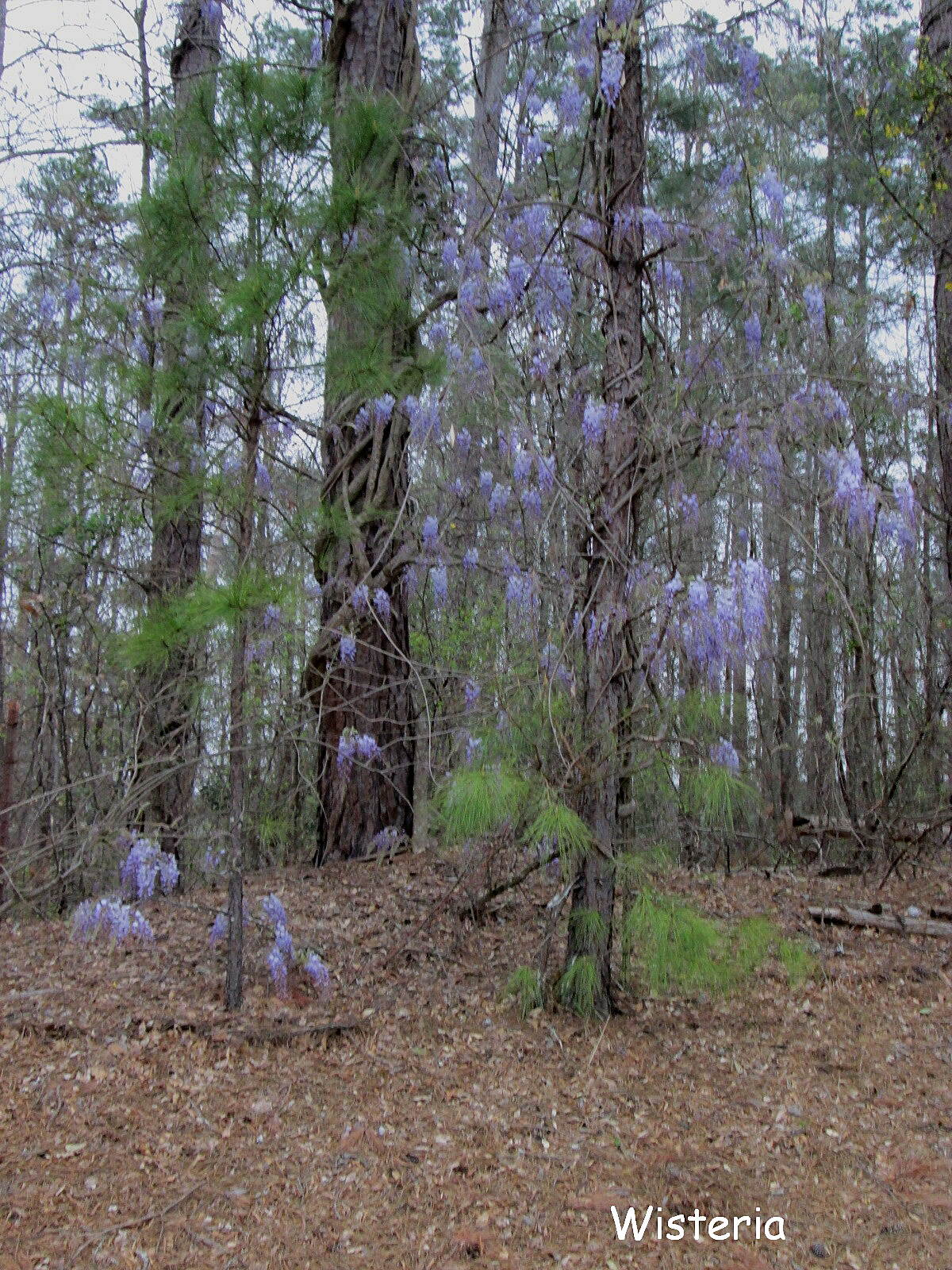 Augusta Canal Trail Wisteria