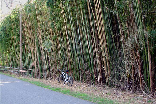 Baltimore and Annapolis Trail Bamboo on the BWI trail ---awesome Bamboo on the BWI trail ---awesome