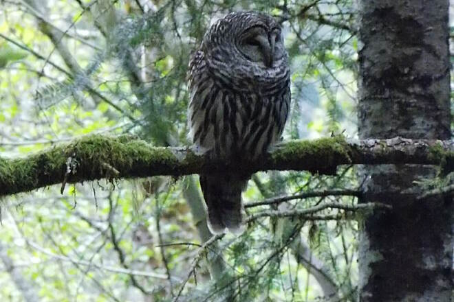 Banks-Vernonia State Trail Barred Owl seen from trail We were getting drenched with rain on this ride a couple of weeks ago but seeing this owl certainly made the ride worth the trip.  He was big and stately and WATCHING us and all who rode the trail that day.