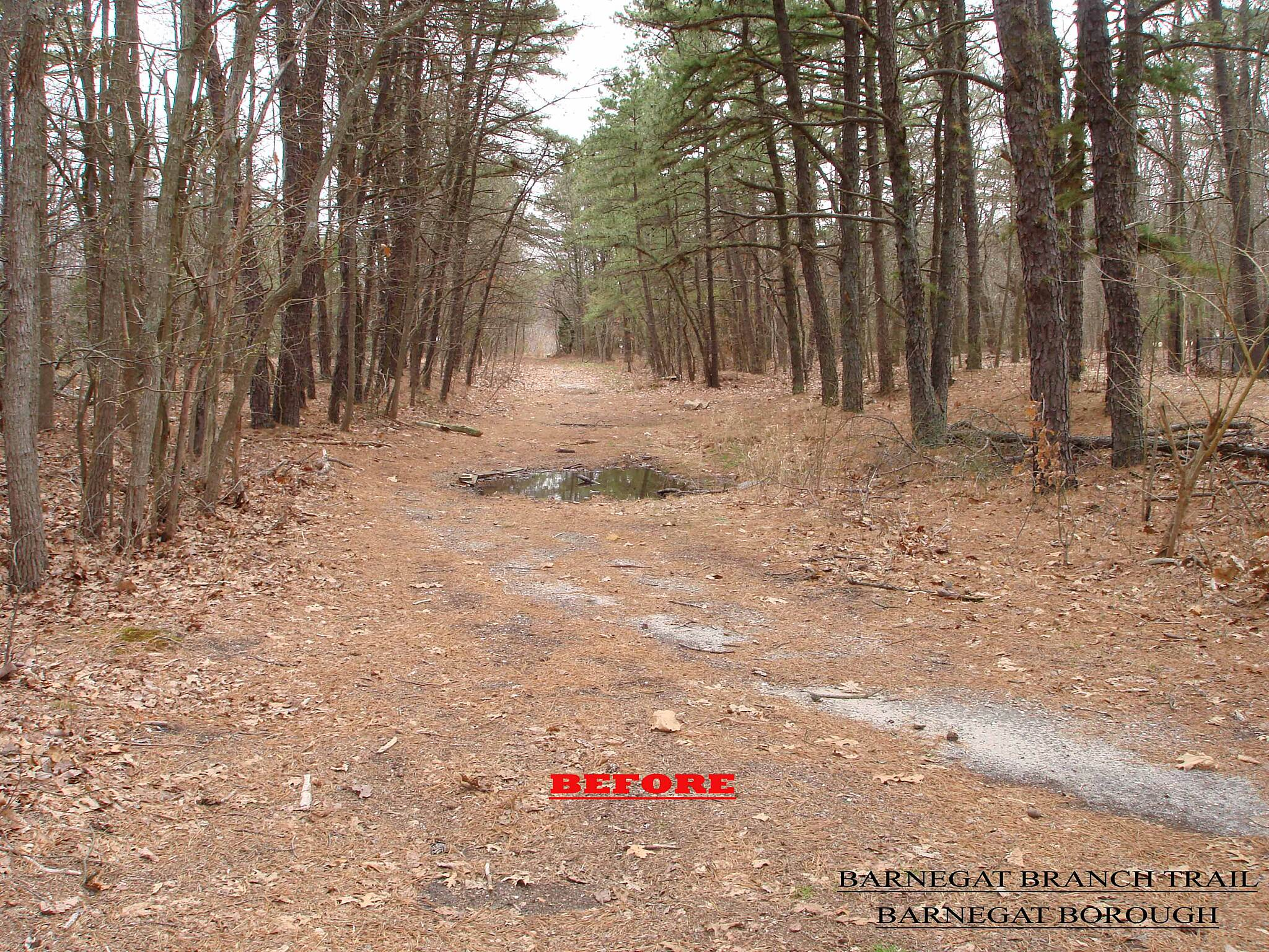 Barnegat Branch Trail BEFORE Pre-construction view of the Pine trees along the Barnegat Branch Trail in the Borough of Barnegat