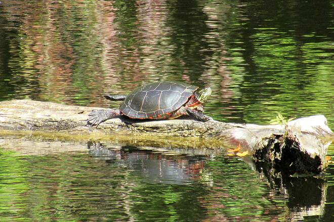 Betsie Valley Trail Turtle on a log Just after mile 4, there's a small pond and turtles in there.
