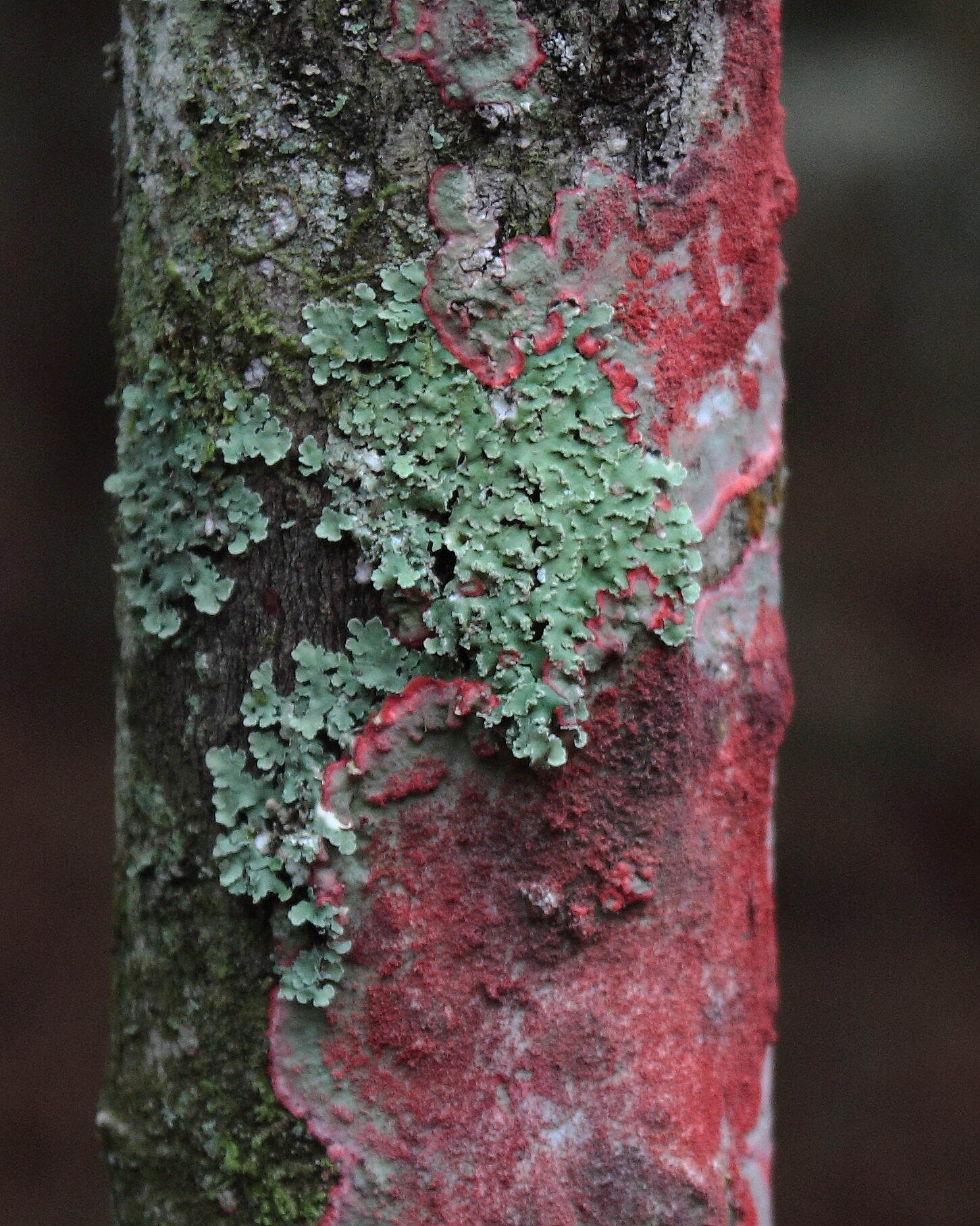 Black Creek Trail lichens January in Black Creek Park