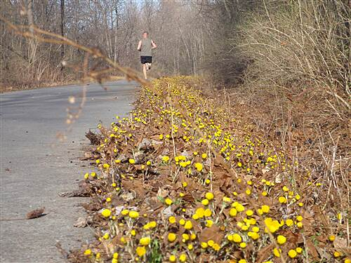 Black River Trail An early spring flower - Coltsfoot