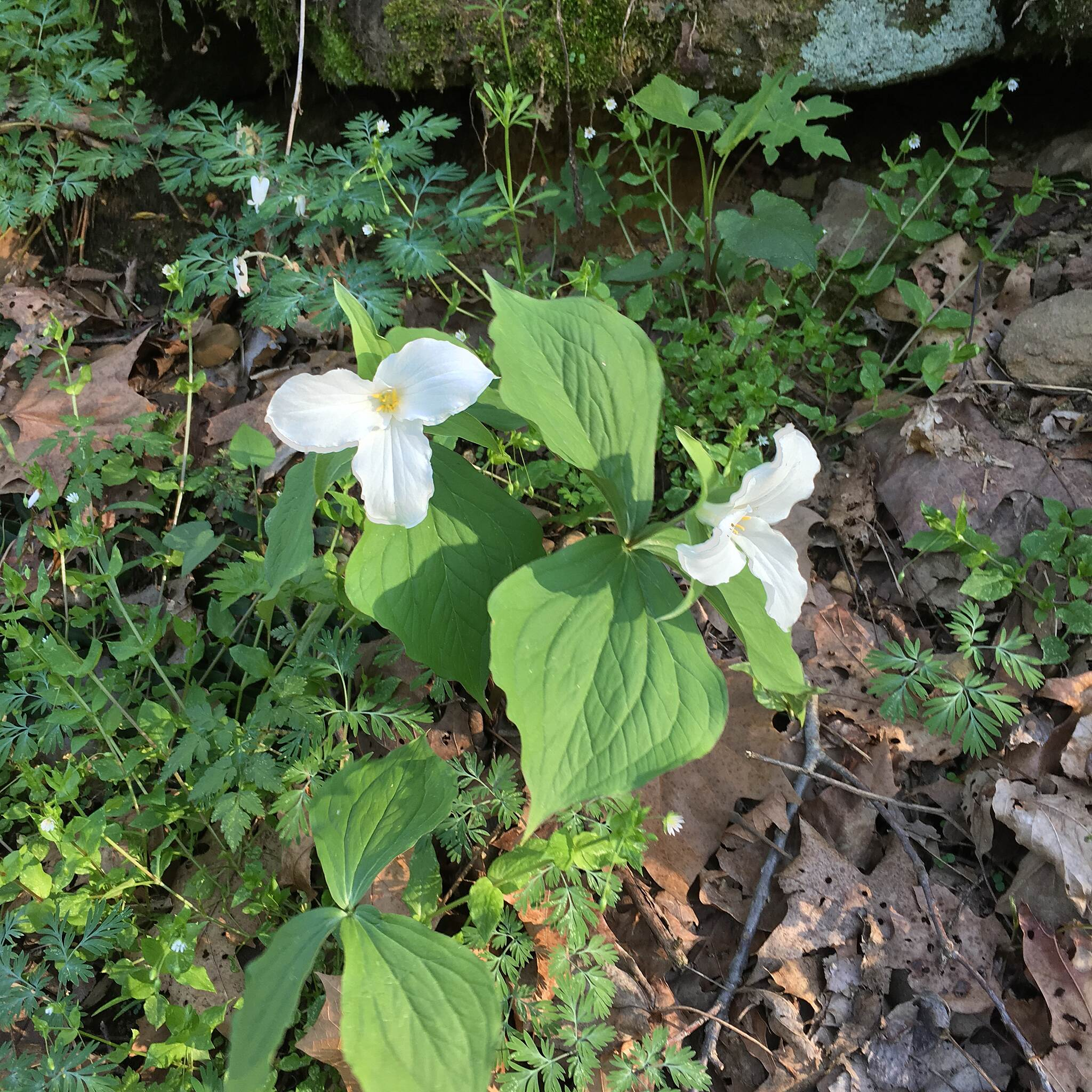 Blackhand Gorge Trail Eastern White Trillium Ohio's State wild flower as well as Canada's province of Ontario. Do Not Pick as it whole plant and will grow no more.