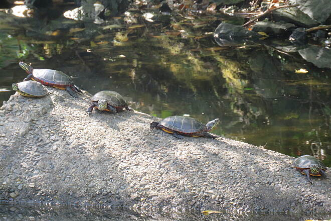 Blackstone River Greenway (RI) Turtles sunning themselves We walked a couple of miles on the trail the other day and saw lots of wildlife including 3 deer, a pair of muskrats, several turtles and a Great Blue Heron.