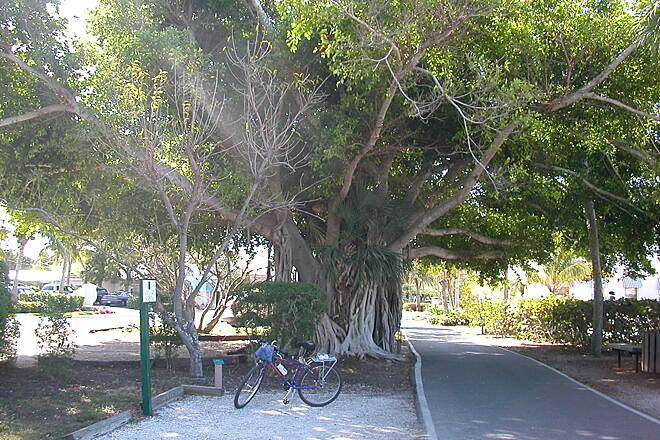 Boca Grande Bike Path Cuban Laurel in Boca Grande