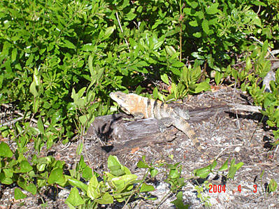 Boca Grande Bike Path Pals along the way Here's one of the iguanas I'm sure folks have read about as being along the trail.