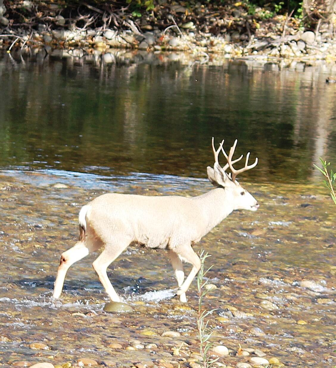 Boise River Greenbelt Albino Deer Boise River Greenbelt Wildlife - Albino Deer