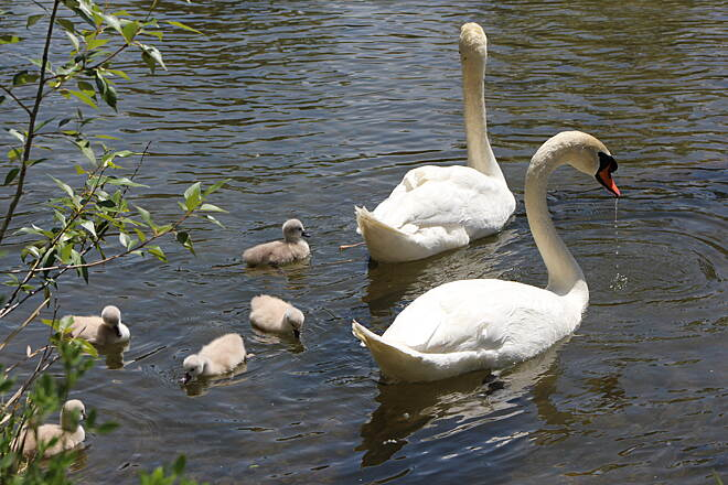 Boise River Greenbelt The Swan Family Boise River Greenbelt Wildlife - Swan Family