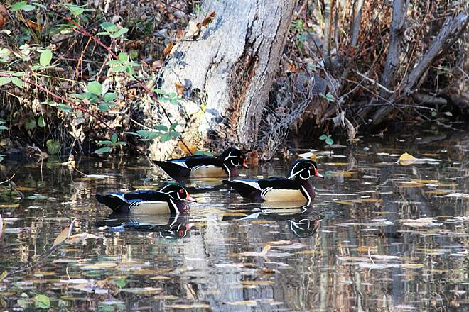 Boise River Greenbelt Wood Ducks Boise River Greenbelt Wildlife - Wood Ducks