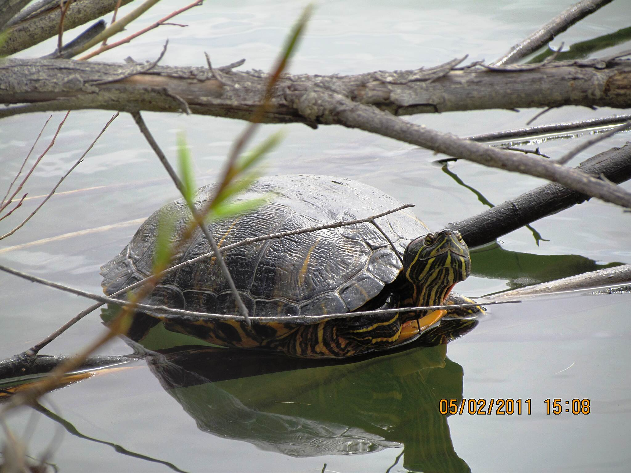 Boise River Greenbelt Turtle Boise River Greenbelt Wildlife - Turtle