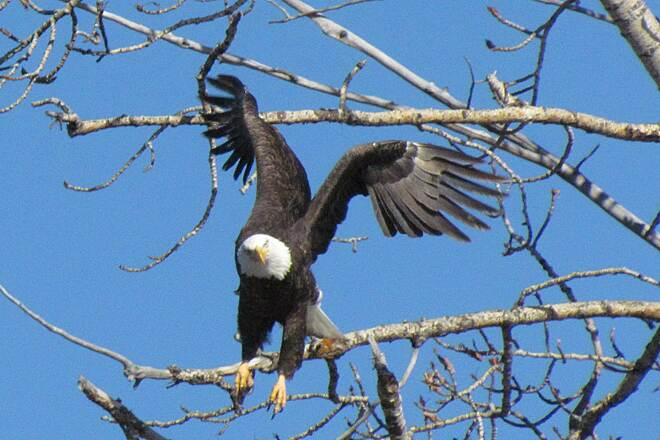 Boise River Greenbelt Eagle Boie River Greenbelt Wildlife - Eagle