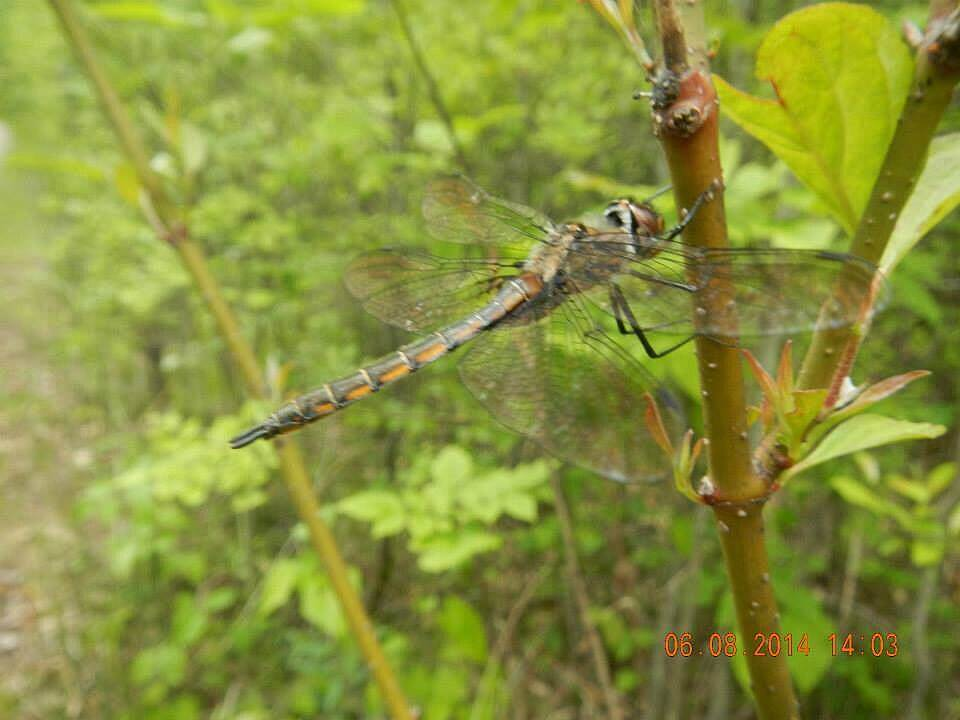 Bottineau Trail Dragonfly on trail Must have been a recent metamorphosis because there were hundreds flying!