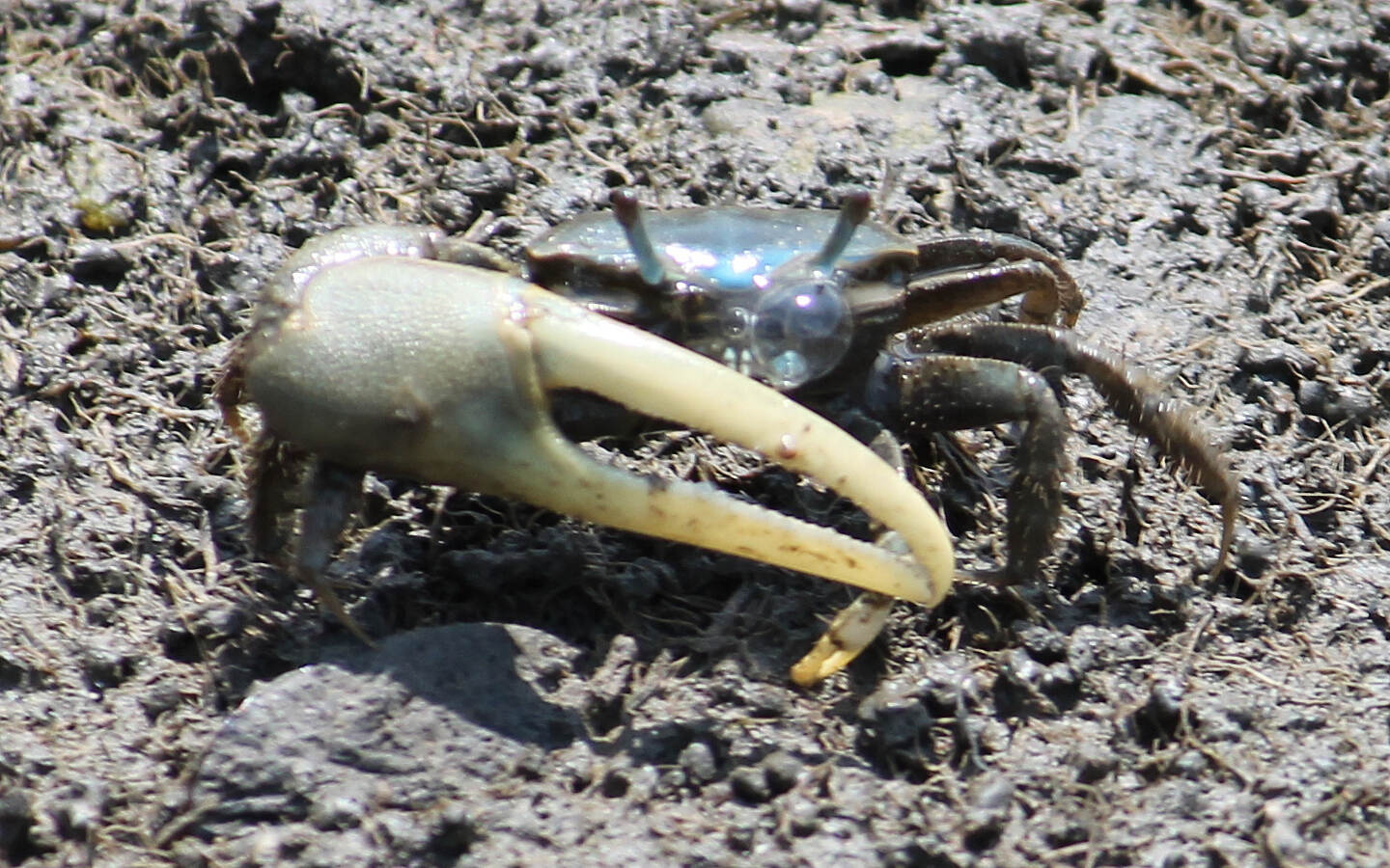 Branford Trolley Trail Blowing Bubbles One of dozens of fiddler crabs just a foot or two off the trail.