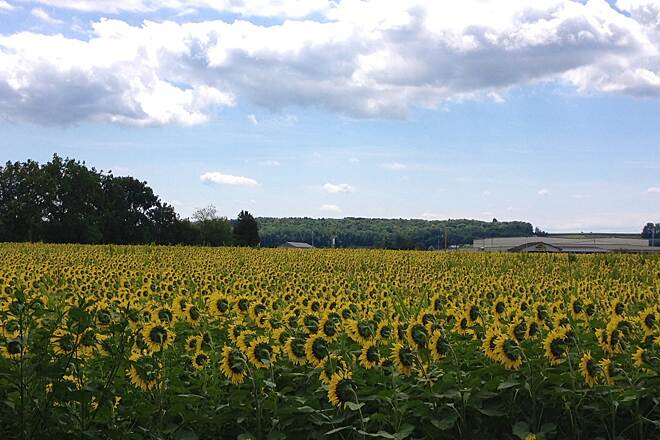 Buffalo Valley Rail Trail Field of Sunflowers One of the many beautiful sights along this trail