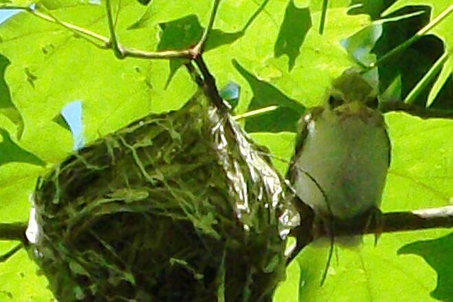 Butler-Freeport Community Trail Unidentified Baby Bird Unknown baby bird in humming bird like nest in tree above  Butler to Freeport trail. taken June 21, 2013