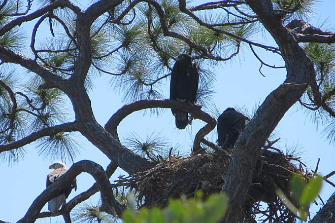 Cape Haze Pioneer Trail Eagle nest along Cape Haze Pioneer trail There is a momma and her two almost grown babes in the photo, take March of 2013, along the Cape Haze Pioneer Trail.