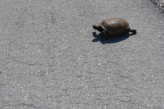 Cape Haze Pioneer Trail Turtle crossing the trail just past Ingram street A turtle gave us a scare, coming out of the ditch and running across the trail.