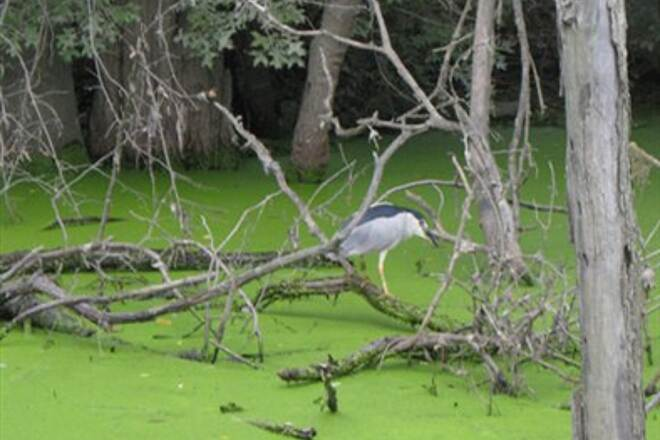 Capital Area Greenbelt Heron 2 Black-crested Night Heron in the canal along Wildwood Lake