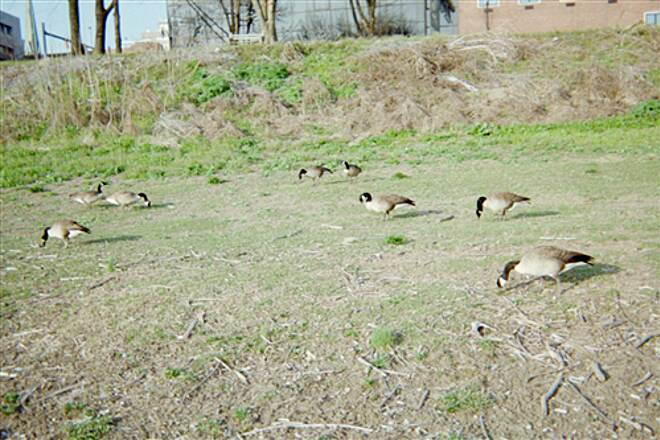 Capital Area Greenbelt Capital Area Greenbelt Geese are a common site along the river.