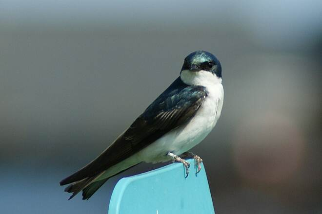 Chattanooga Riverwalk (Tennessee Riverpark) Tree Swallow Tree Swallow