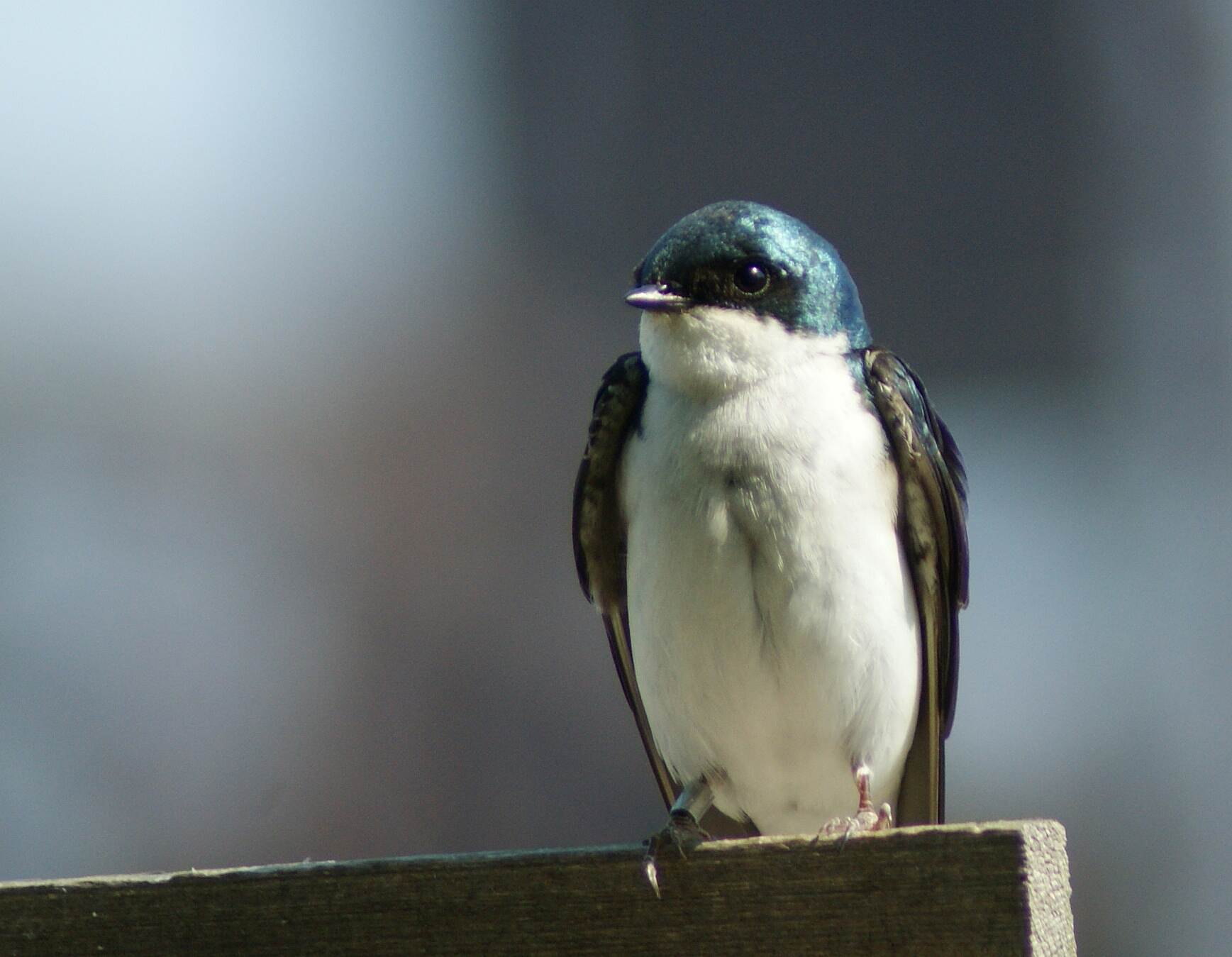 Chattanooga Riverwalk (Tennessee Riverpark) Tree Swallow with Ankle Band Tree Swallow with Ankle Band