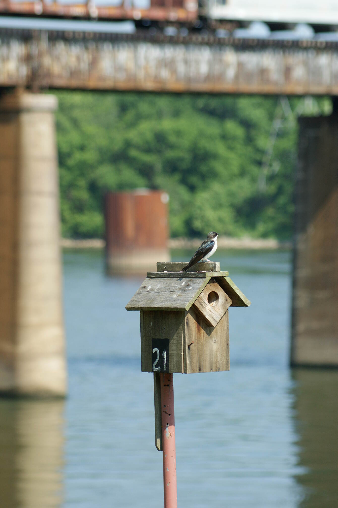 Chattanooga Riverwalk (Tennessee Riverpark) Tree Swallow and Train Cars Tree Swallow and Train Cars, House #21 by the Dam.
