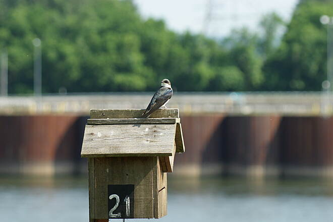 Chattanooga Riverwalk (Tennessee Riverpark) Brownish Tree Swallow by Dam Brownish Tree Swallow by the Dam.