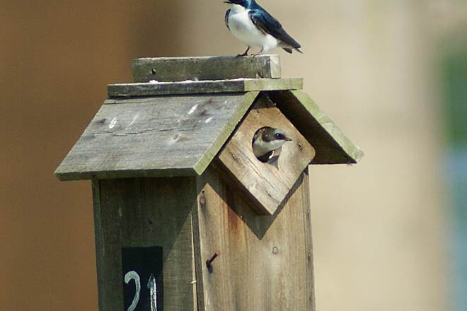 Chattanooga Riverwalk (Tennessee Riverpark) Tree Swallow Peeking Out Tree Swallow Peeking Out of Birdhouse.