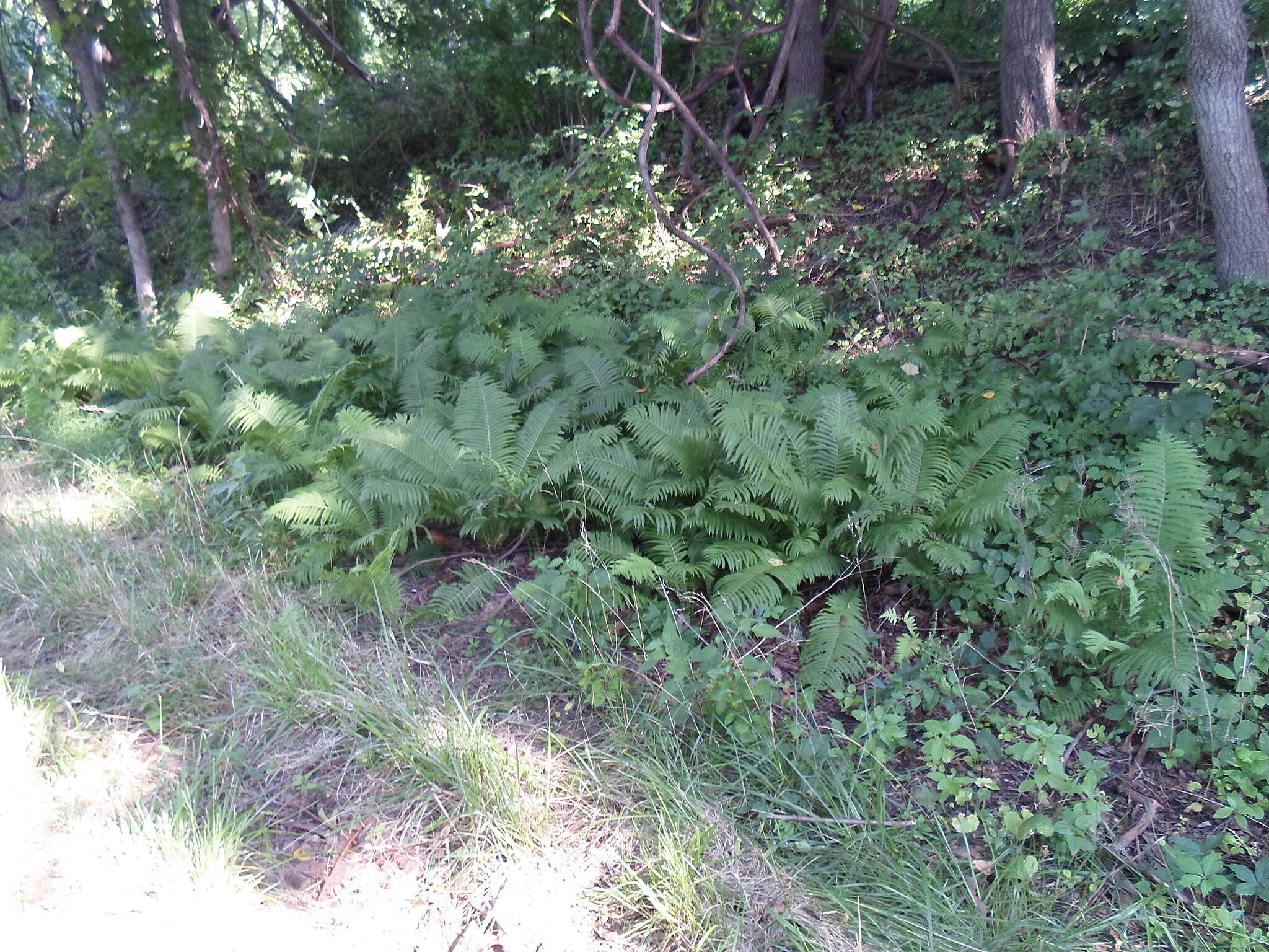 Chester Valley Trail Chester Valley Trail These ferns were part of the greenery that surrounds the trail in the warm months of the year. Taken July 2015.