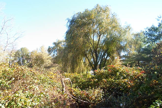 Chester Valley Trail Chester Valley Trail Weeping willow seen from the trail in Exton. Taken Oct. 2014.