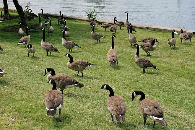 Chicago Lakefront Trail Canada geese