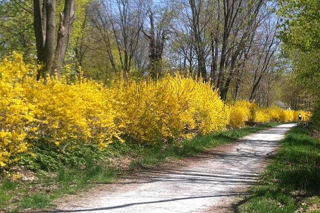 Columbia Trail Gorgeous Spring Day Love the lineup of forsythias on the Columbia Trail, near Califon, NJ (midpoint of trail)