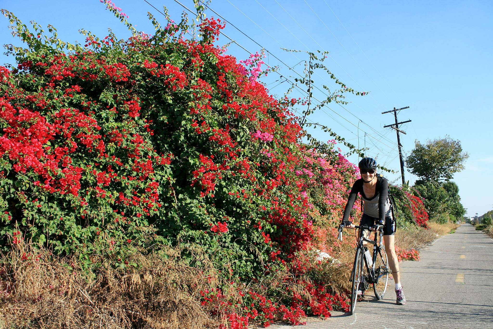 Compton Creek Bike Path Bougainvillea bushes along the Compton Creek Bike Path