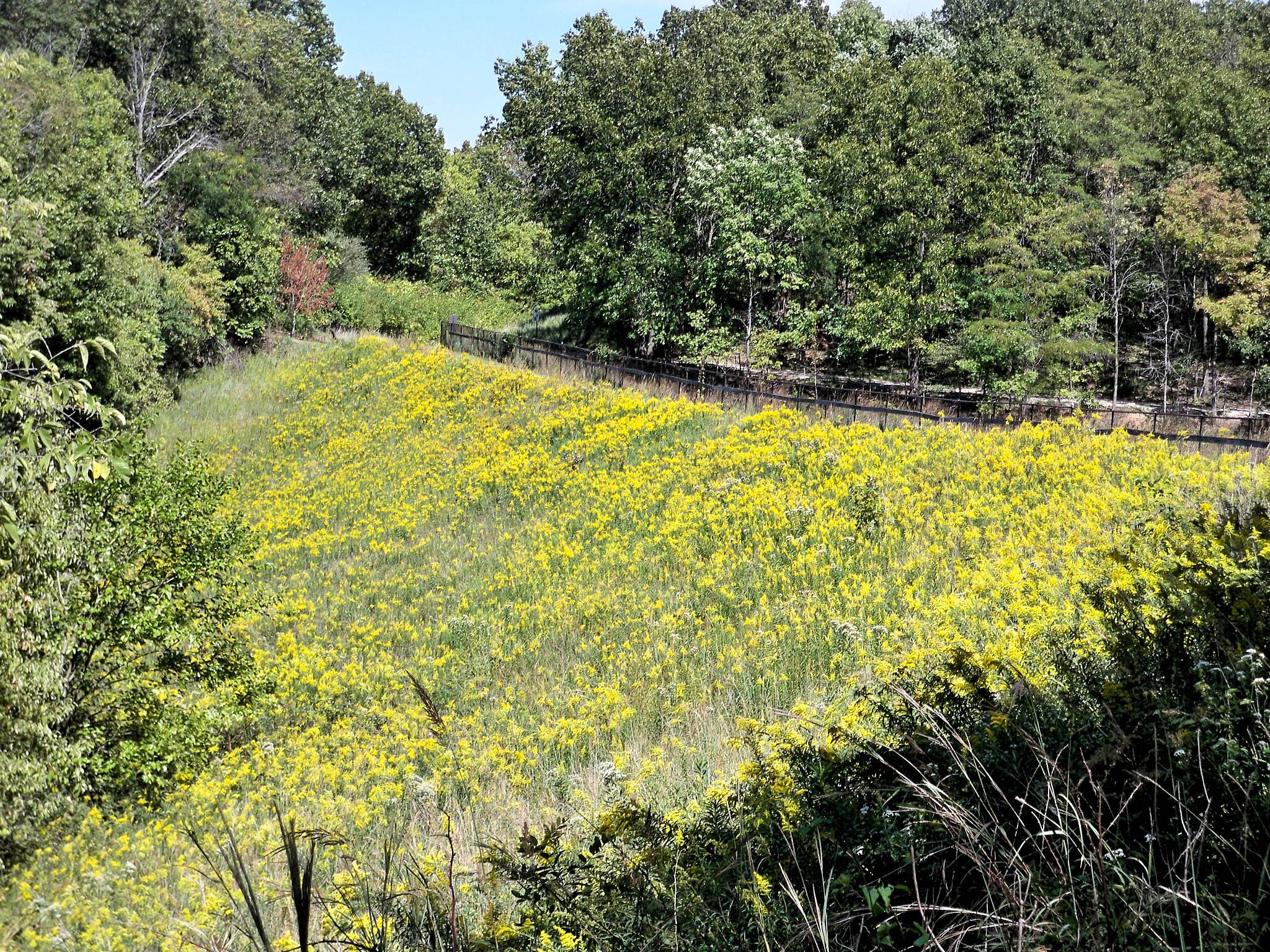 Conservation District Trail Goldenrod in Full Bloom September - on the spillway of the large fishing pond.