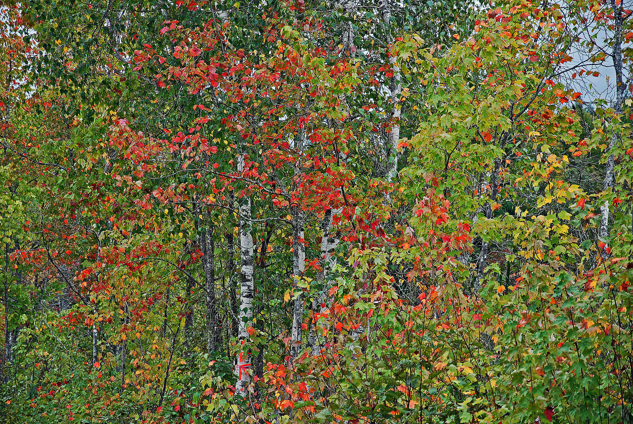 Cotton Valley Rail-Trail New Hampshire's State Tree Nothing like a birch tree in fall to explain NH's autumn season to out of state visitors.
