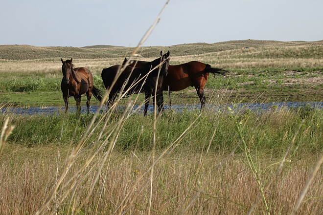 Cowboy Recreation and Nature Trail Horses Horses near Valentine where trail deviates from highway. Sand hills.