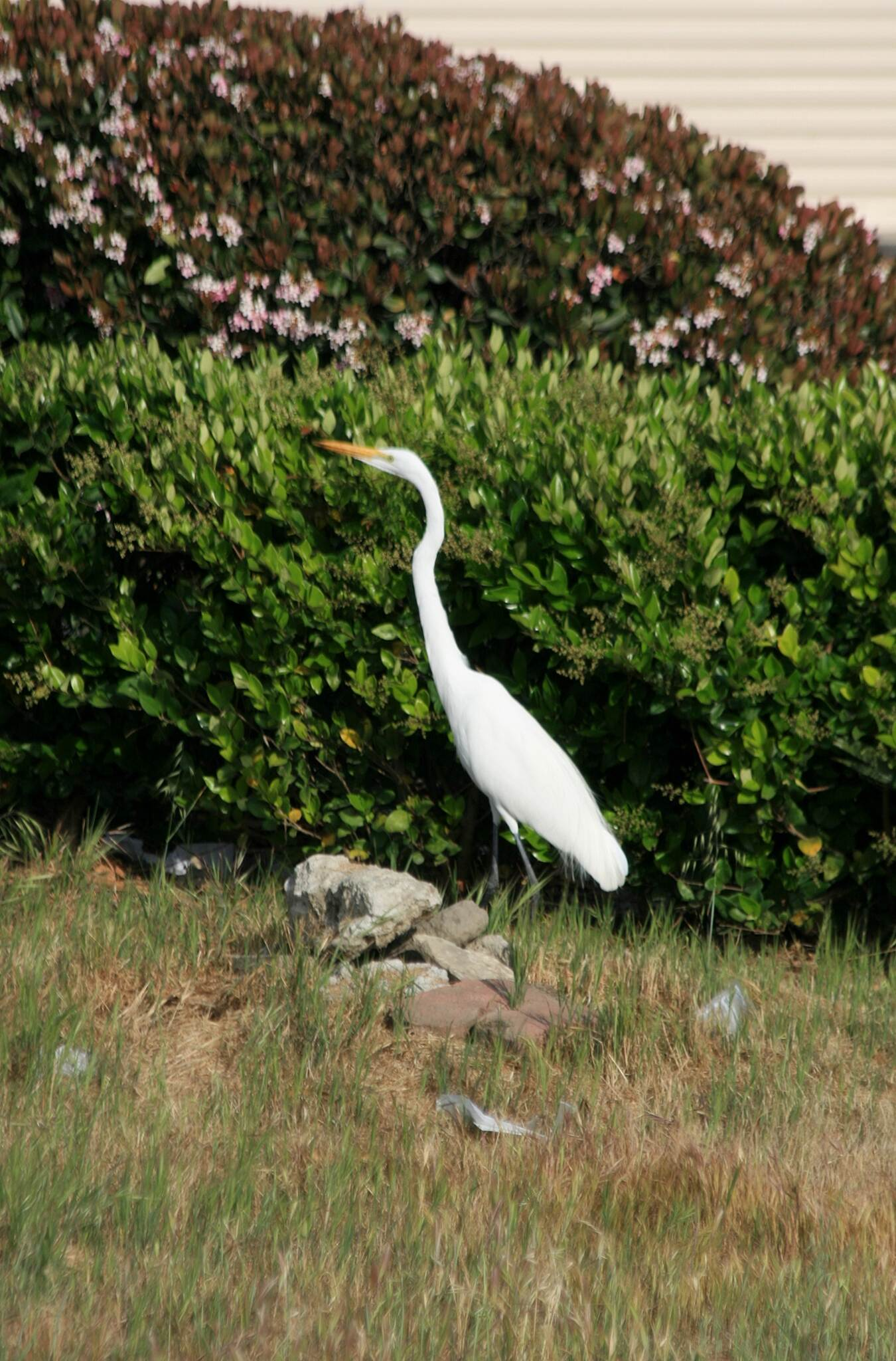 Coyote Creek Bikeway Great white egret along the Coyote Creek Trail