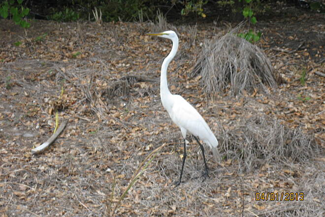 Cross Seminole Trail Great Egret Great Egret alongside the trail near Slavia
